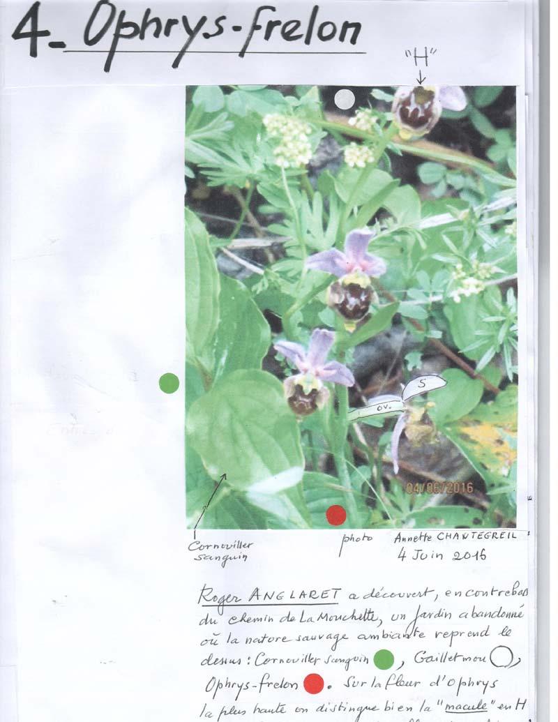 Ophrys-frelon