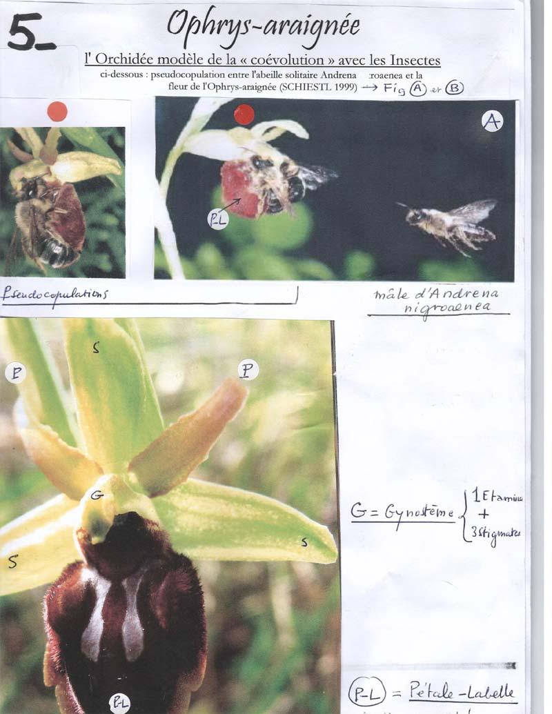 Ophrys-araignée - suite